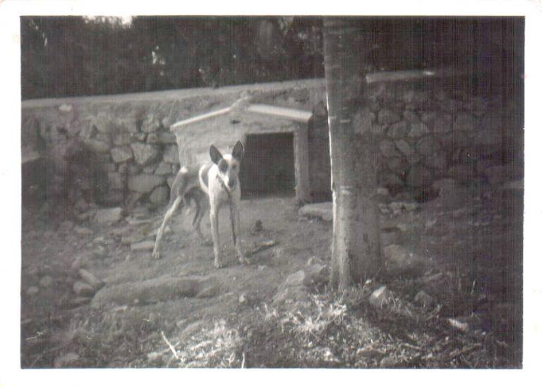 Podenco – 1966